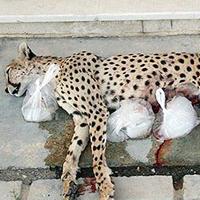 خطر انقراض در كمين گونههاي كمياب جانوري