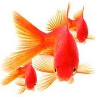 كشتن ميليونها ماهي قرمز به بهانه حفظ فرهنگ ايراني!