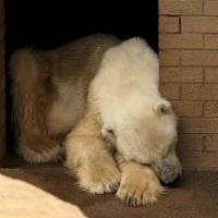 عکس/ماجرای وفاداری آخرین خرس قطبی آفریقا به همسرش