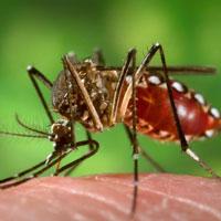 مشاهده پشه ناقل تب دانگی در کشور