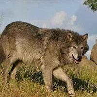 گرگ ها 6 کودک زنجانی را خورده اند؛ مسؤولان چه می کنند؟!