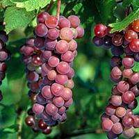 مهار دیابت نوع 2 با عصاره پوست انگور