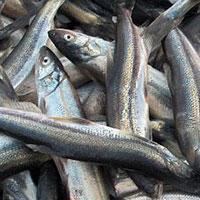 ماهیهای رودخانه سزار را نخورید