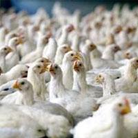 استفاده از آنتی بیوتیک های ممنوعه در تولید مرغ