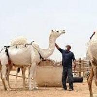 سازمان دامپزشکی باید پاسخگوی واردات شترهای آلوده به کرونا باشد