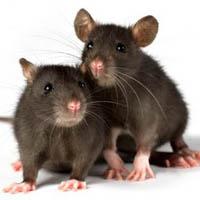 صرف سالانه میلیارد ها تومان برای مبارزه با موش های پایتخت