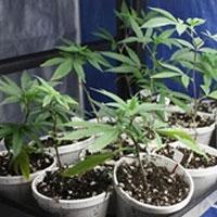ماریجوانا در ایران؛ از ورود در مرزهای شرقی تا کشت در گلدانهای آپارتمانی
