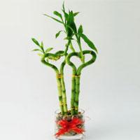 گیاه بامبو پادزهر سرطان