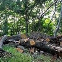 هنوز جنگل ها را می خورند