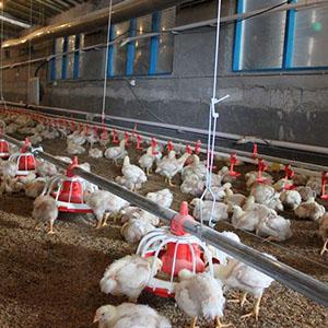 هشدار آنفولانزای مرغی/ شکار پرندگان وحشی تا اطلاع ثانوی ممنوع