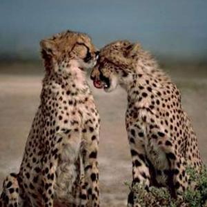 پنجه در پنجه انقراض یوزپلنگ ایرانی