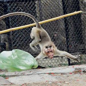 میمونهای یاغی، خطرناک و فراری در خیابانهای تهران/ حمله دو میمون به شهروندان و توقف با ضرب گلوله