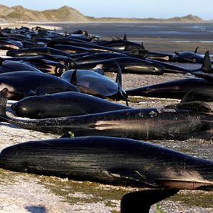 عکس/خودکشی نهنگ ها در سواحل نیوزیلند