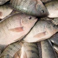 هشدار فائو درباره شیوع ویروس مرگبار تهدید کننده ماهی تیلاپیا