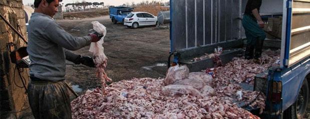 آلودگی ضایعات مرغداریها در جان حاشیهنشینها