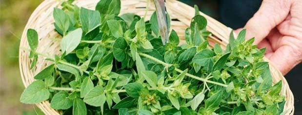 6 گیاه برای کاهش فشارخون بالا